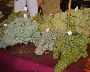 La vendimia, nace el Vino en Moriles