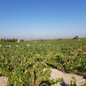 Grupo Pérez Barquero culmina la vendimia 2021 para sus vinos blancos jóvenes, muy aromáticos y frescos